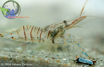 Palaemonetes ivonicus Amazon glass shrimp