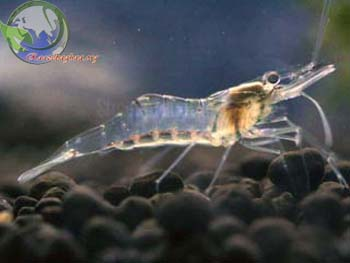 ... shrimp ivory shrimp palenque floating shrimp paraguay ghost shrimp
