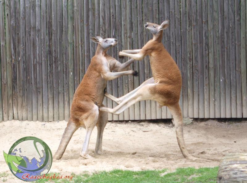 کانگوروی قرمز Red Kangaroo Macropus rufus